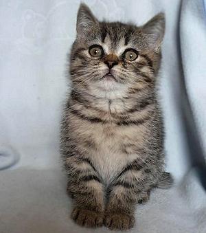 Odmiany Barwne Kotów Brytyjskich
